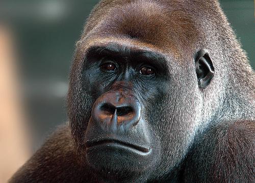 3d animals wallpaper ape - photo #30